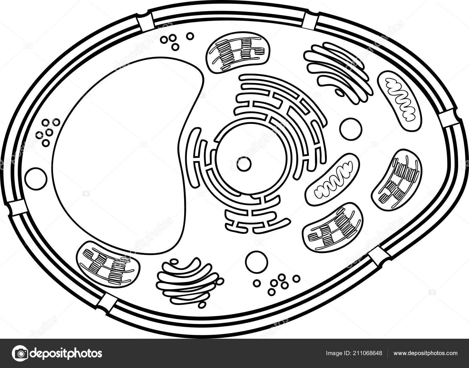 Pagina Colorare Struttura Delle Cellule Della Pianta
