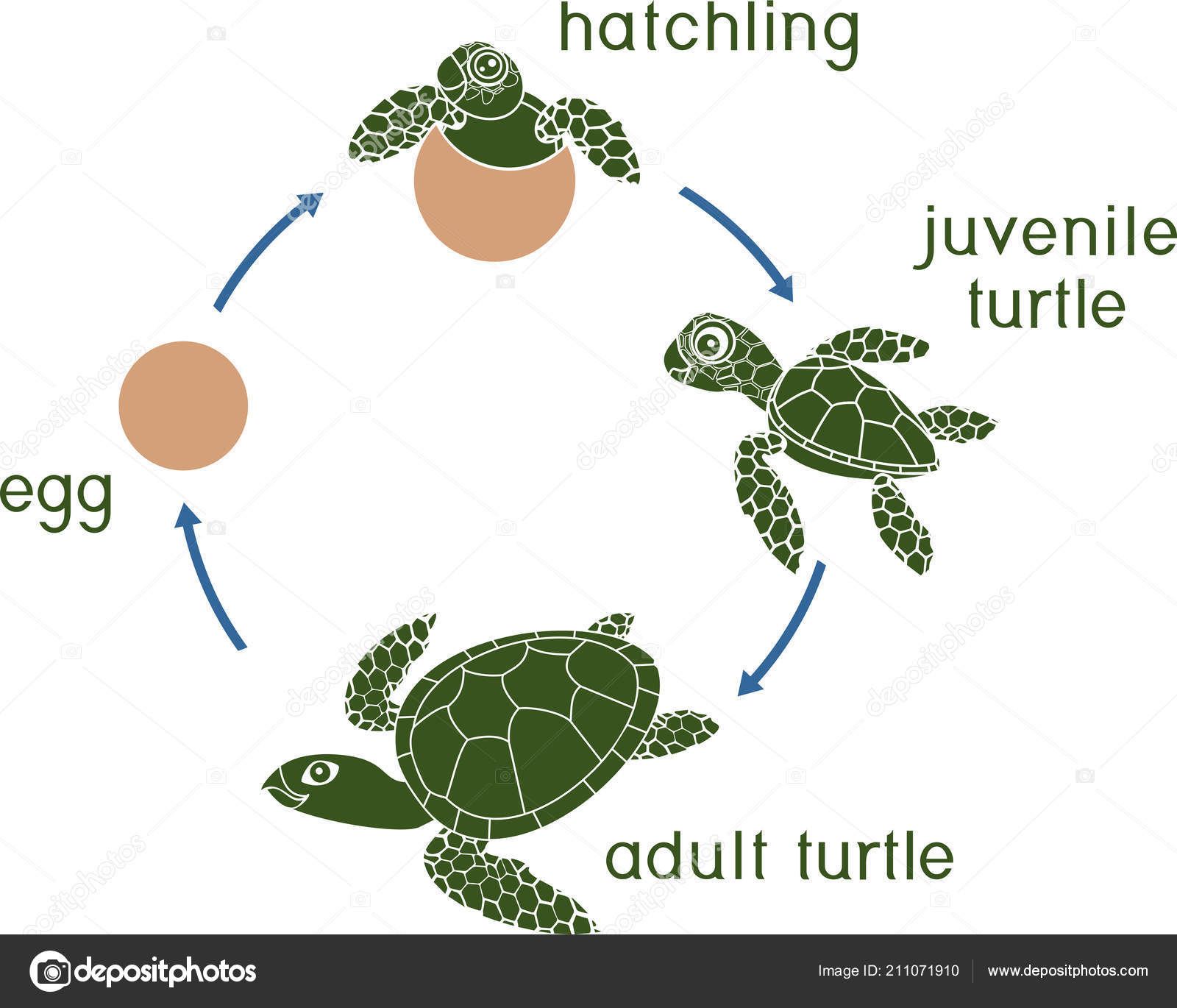 Ciclo Vida Das Tartarugas Marinhas Sequencia Fases Evolucao Tartaruga Ovo