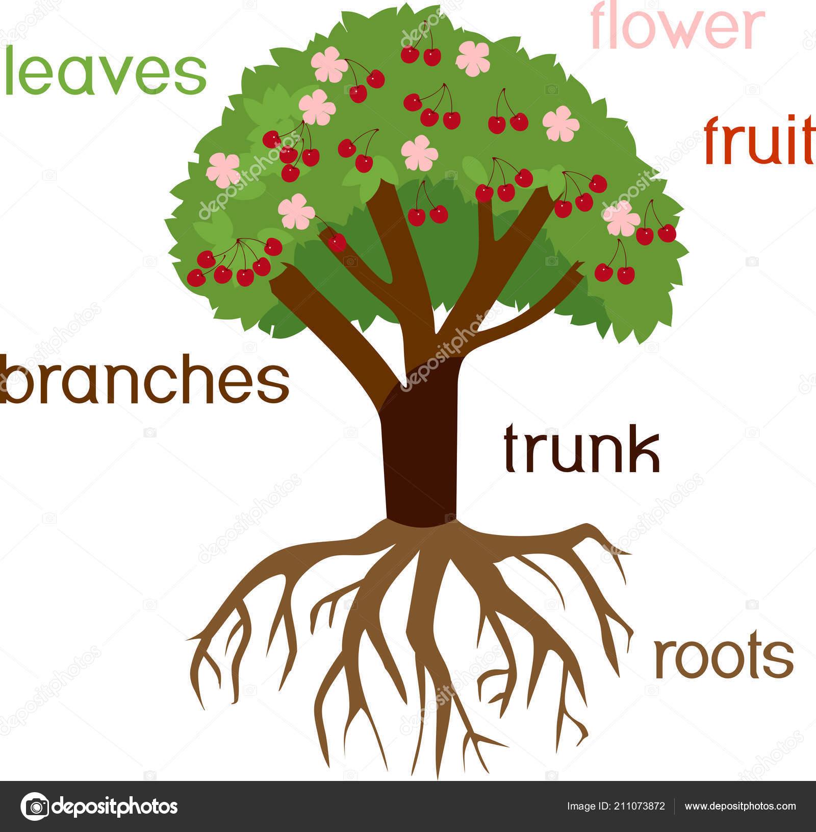 Partes Planta Morfologia Cerezo Con Sistema Raices Flores