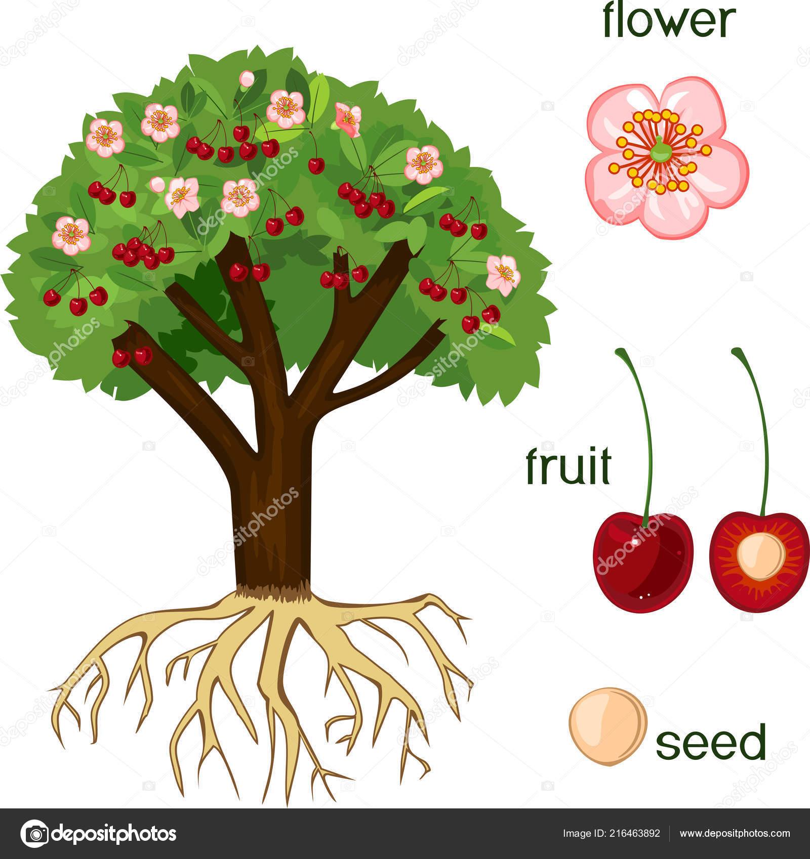 Partes Planta Morfologia Cerezo Con Frutas Flores Hojas
