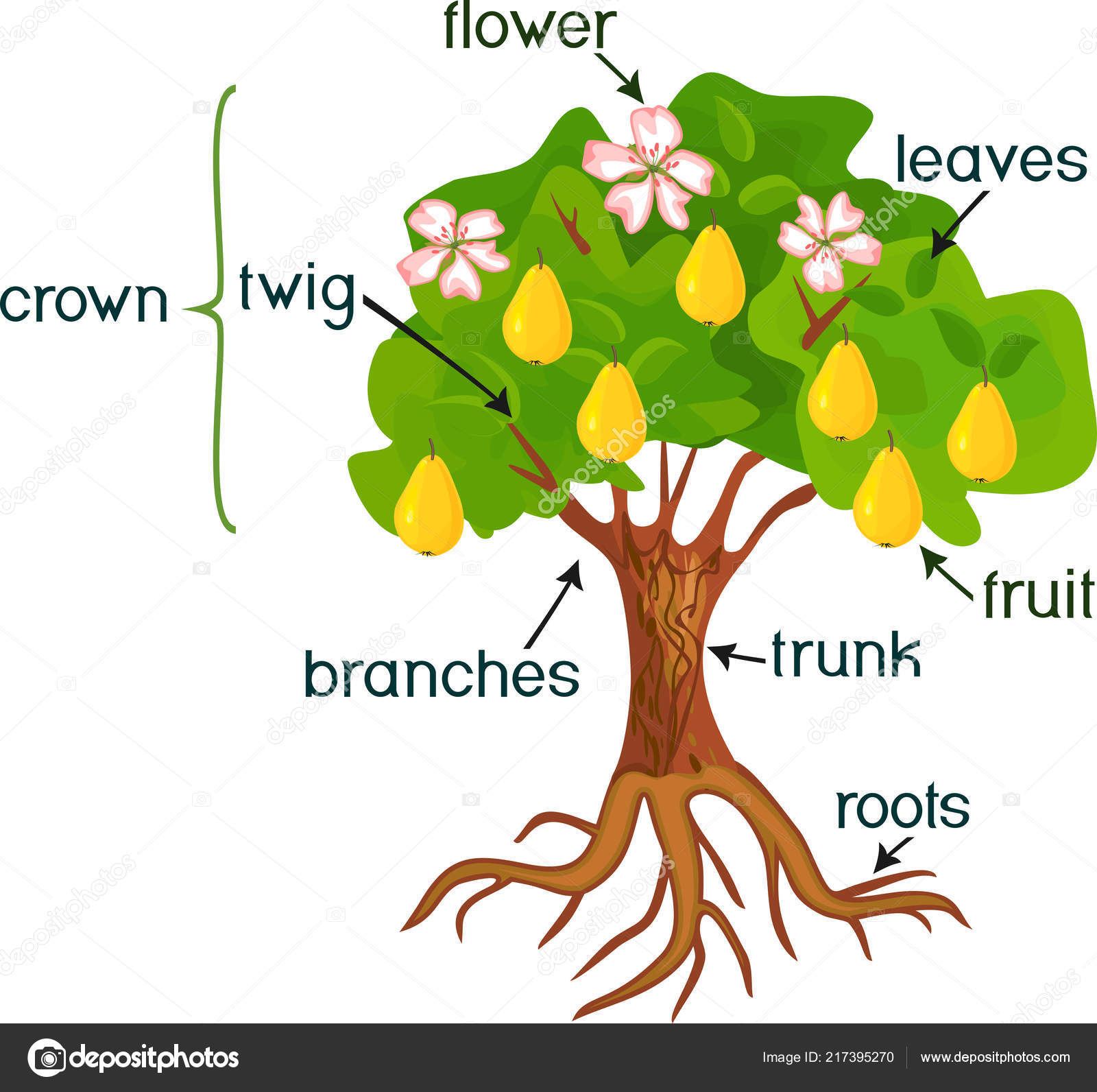 Parts Plant Morphology Pear Tree Fruits Flowers Green