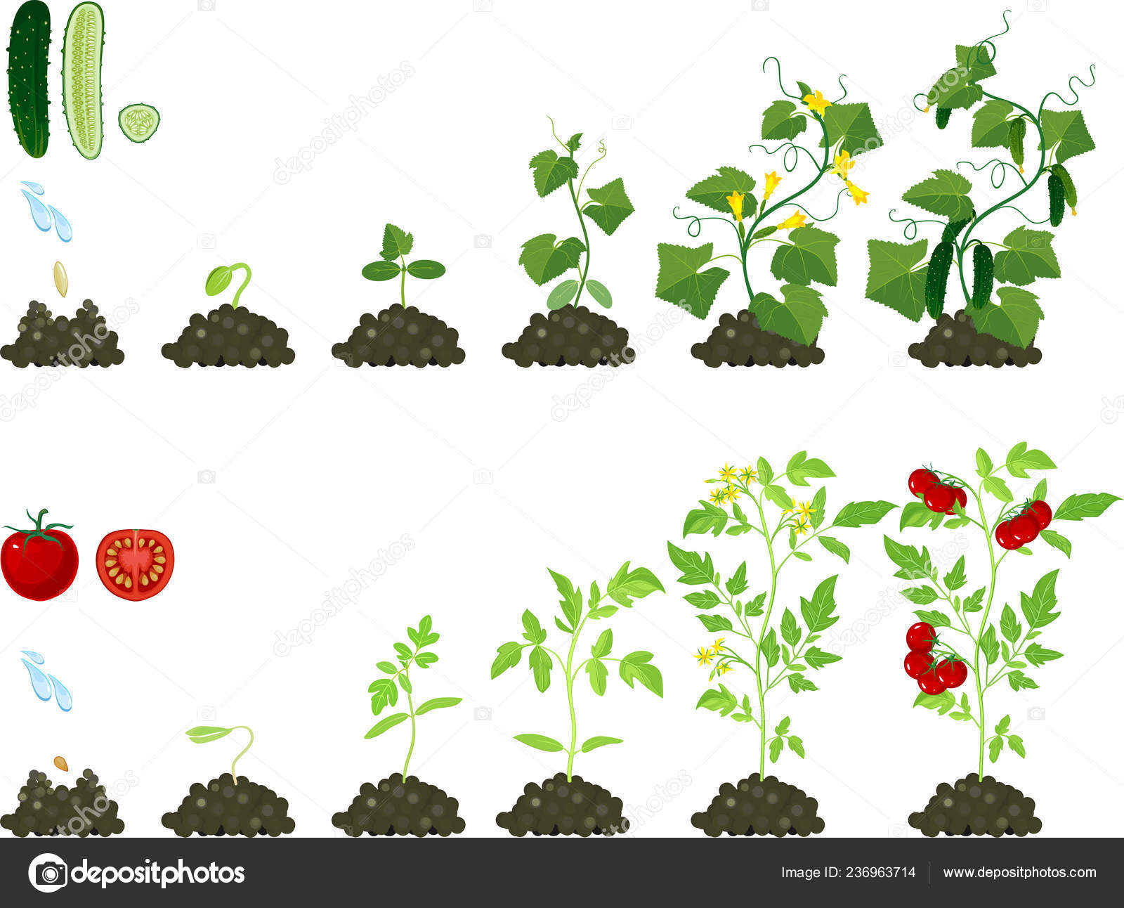 Set Life Cycles Agricultural Plants Growth Stages Tomato
