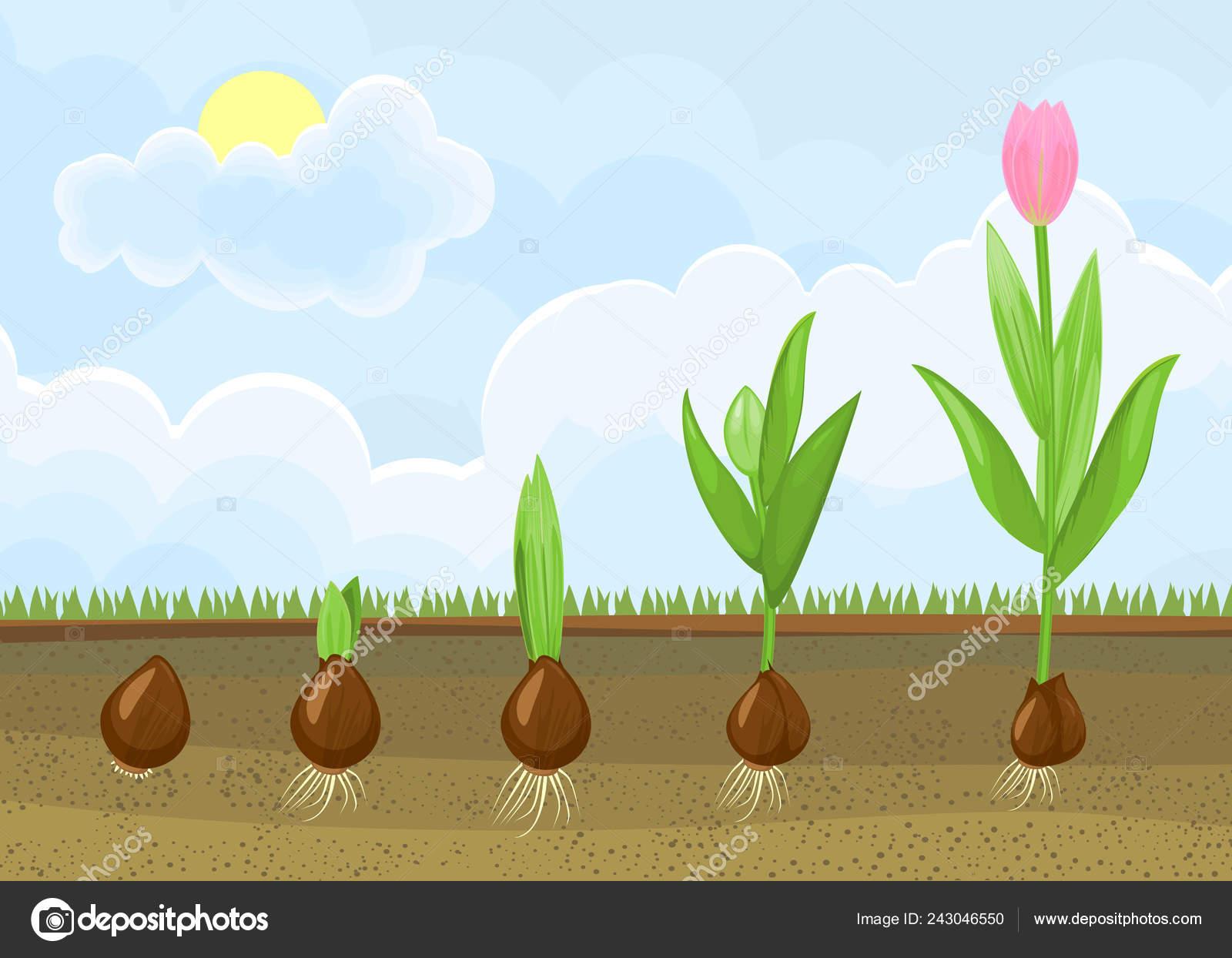 Ciclo Vida Planta Tulipan Etapas Crecimiento Del Bulbo