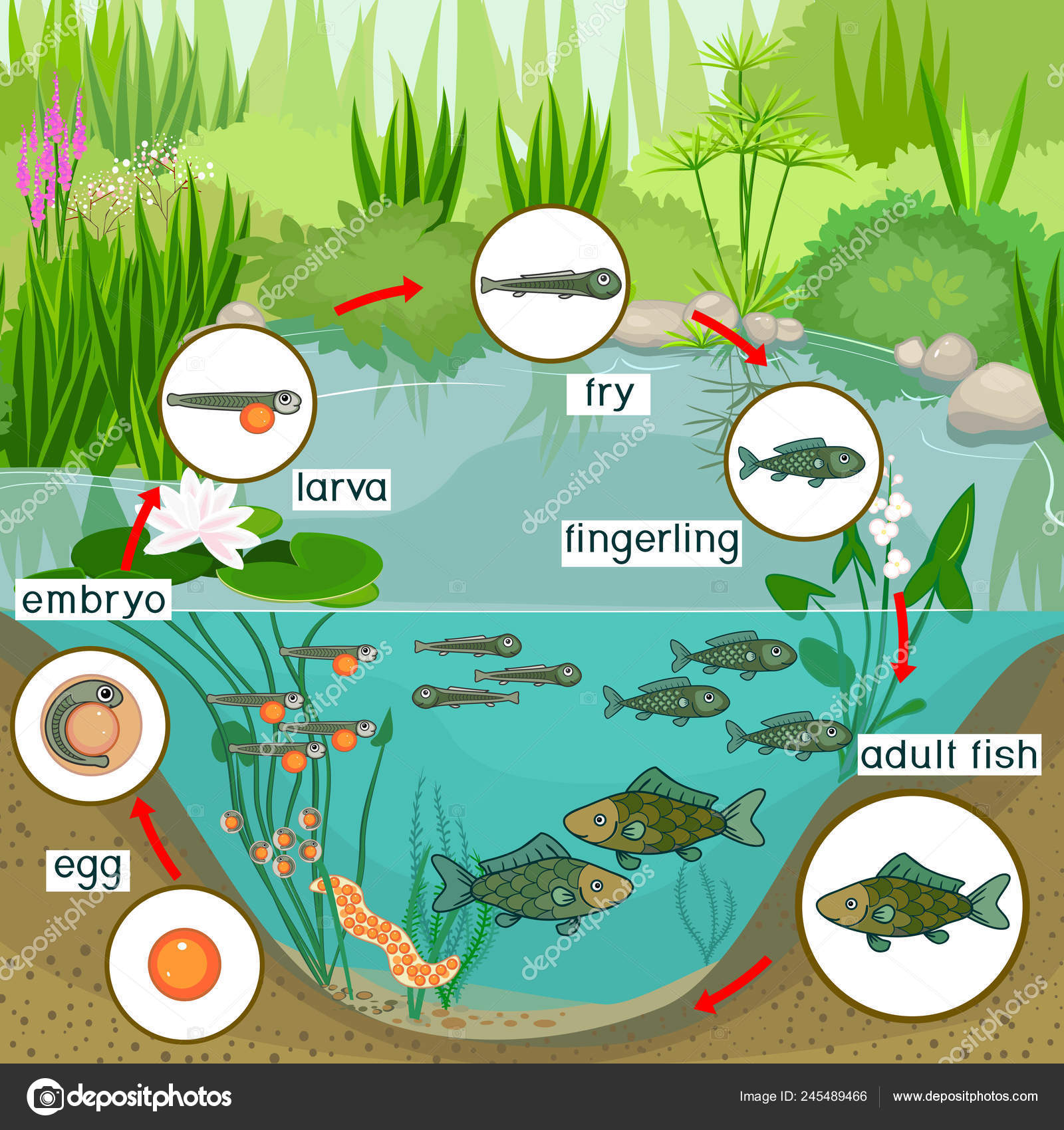 Pond Ecosystem Life Cycle Fish Sequence Stages Development