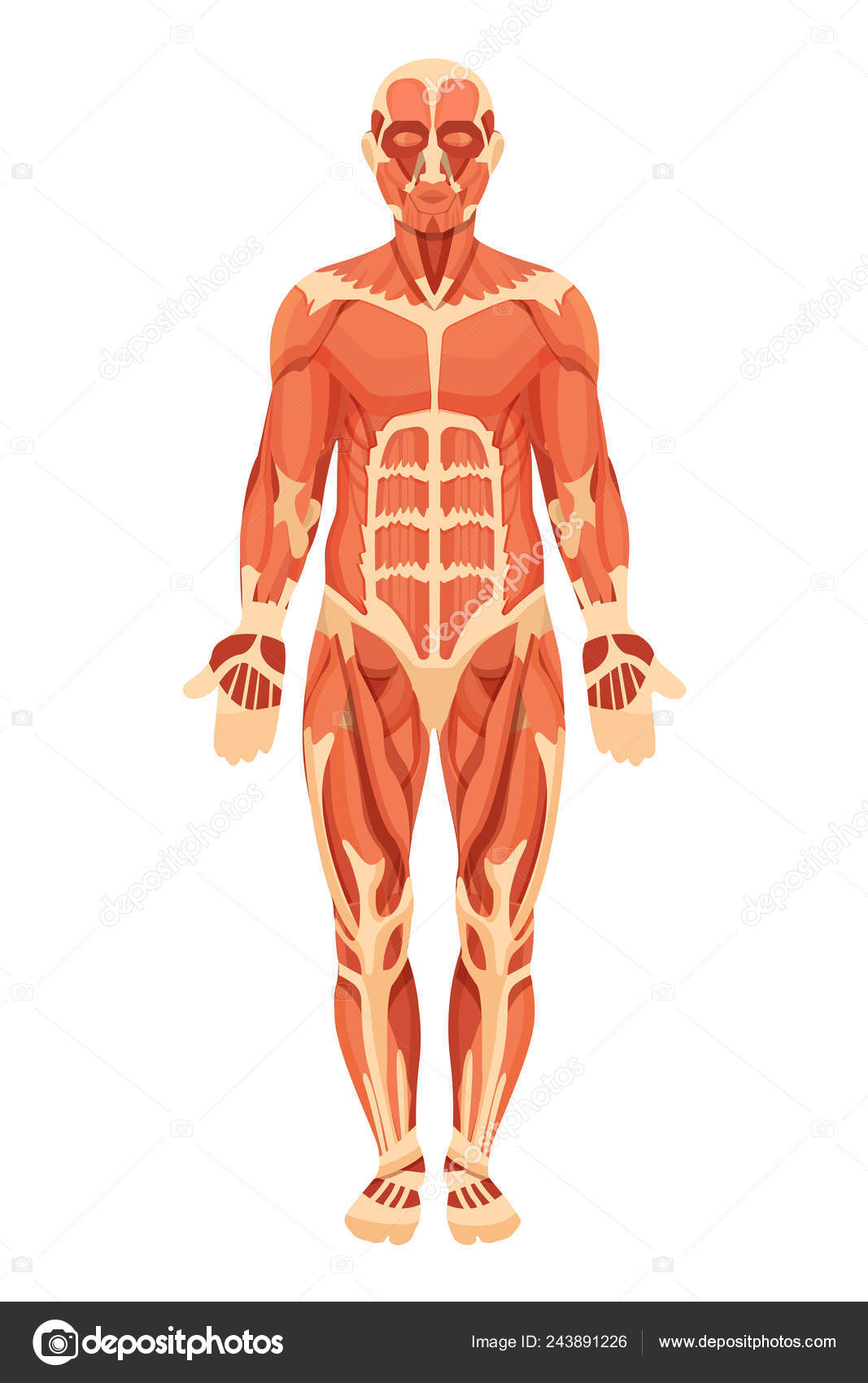 Anatomical Structure Of Human Body Muscle Groups Tendons