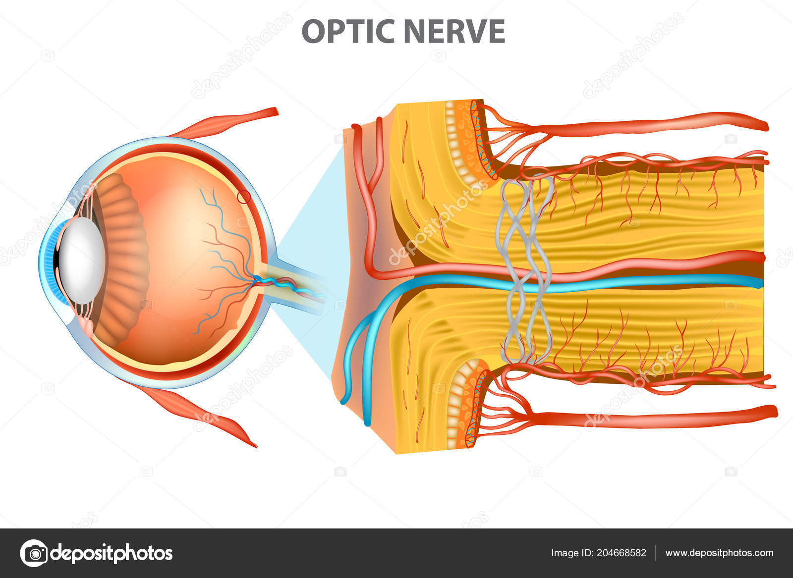 Optic Nerve Anatomy Eye