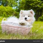 Funny Samoyed Puppy Dog In The Basket Stock Photo C Zannaholstova 283405816