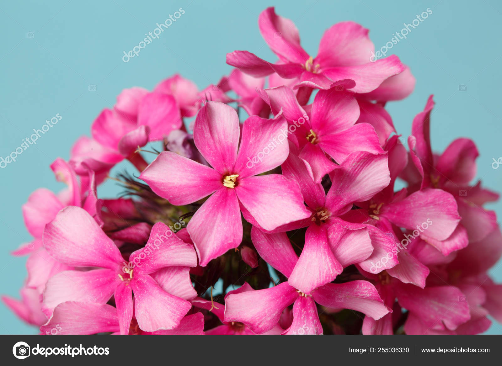 Bright Floral Wallpaper Pink Phlox Blue Background Close Stock Photo C Ksenia Pelevina 255036330