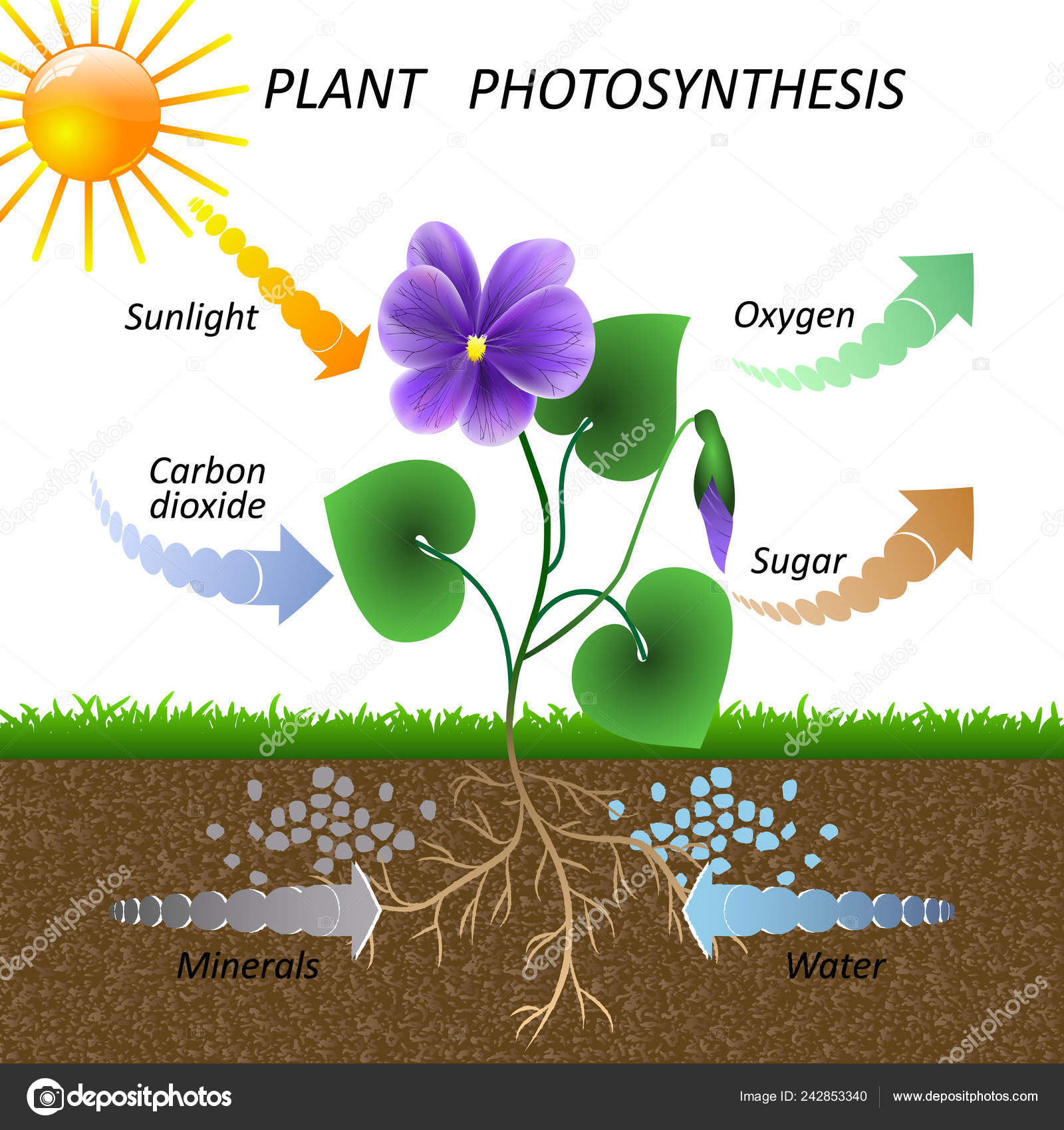 Clipart Photosynthesis Drawing