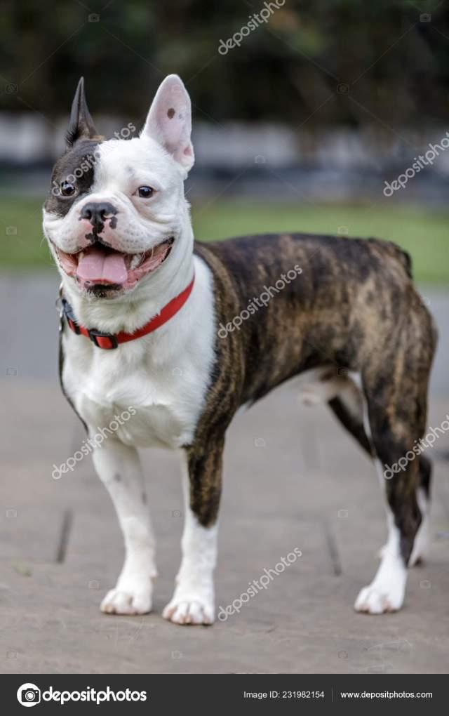 french bulldog boston terrier cross breed frenchton puppy male leash