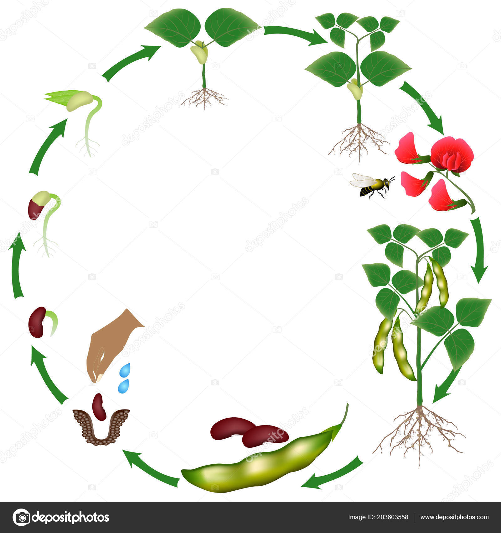 Life Cycle Bean Plant White Background
