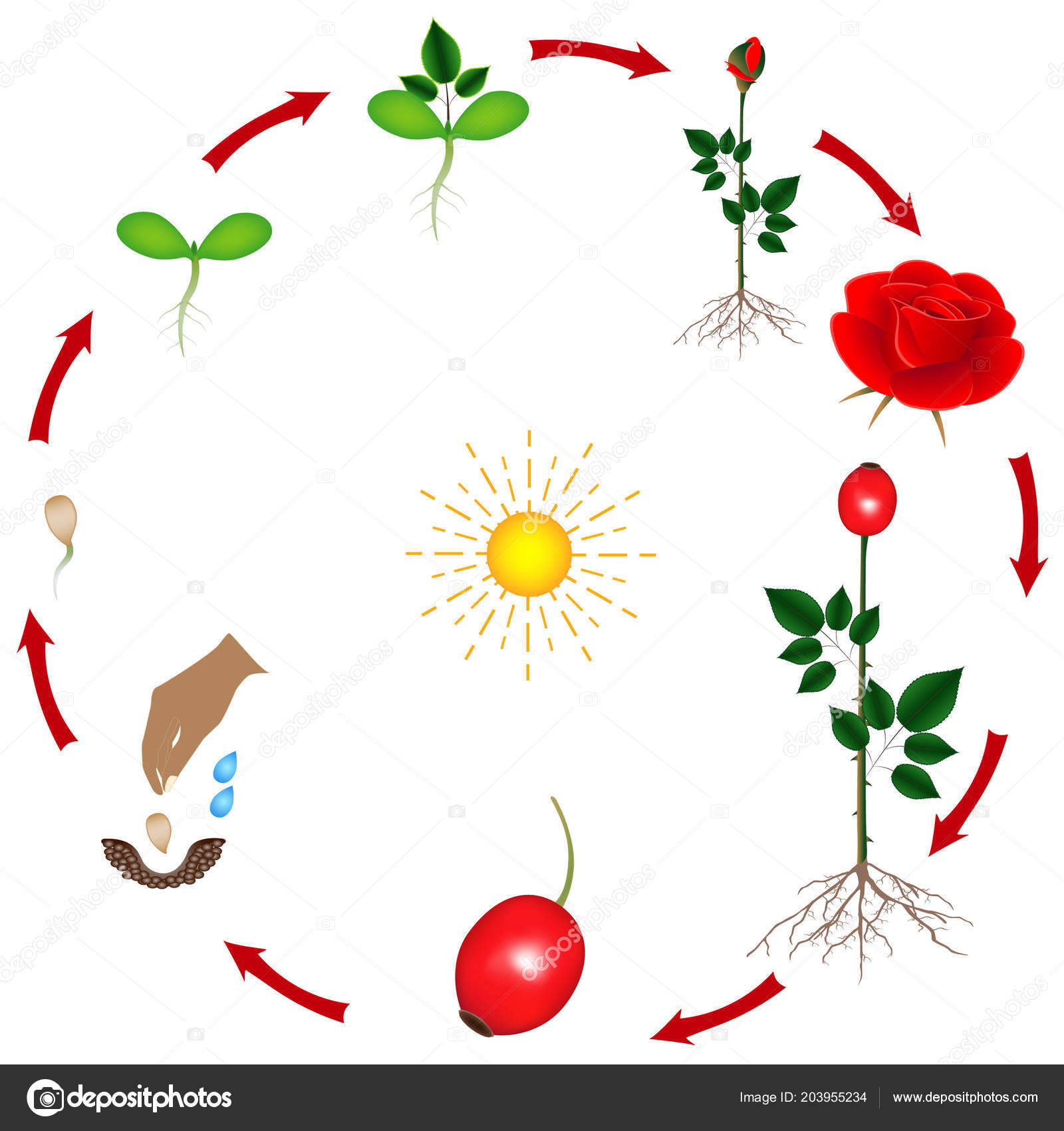 Life Cycle Rose Plant White Background