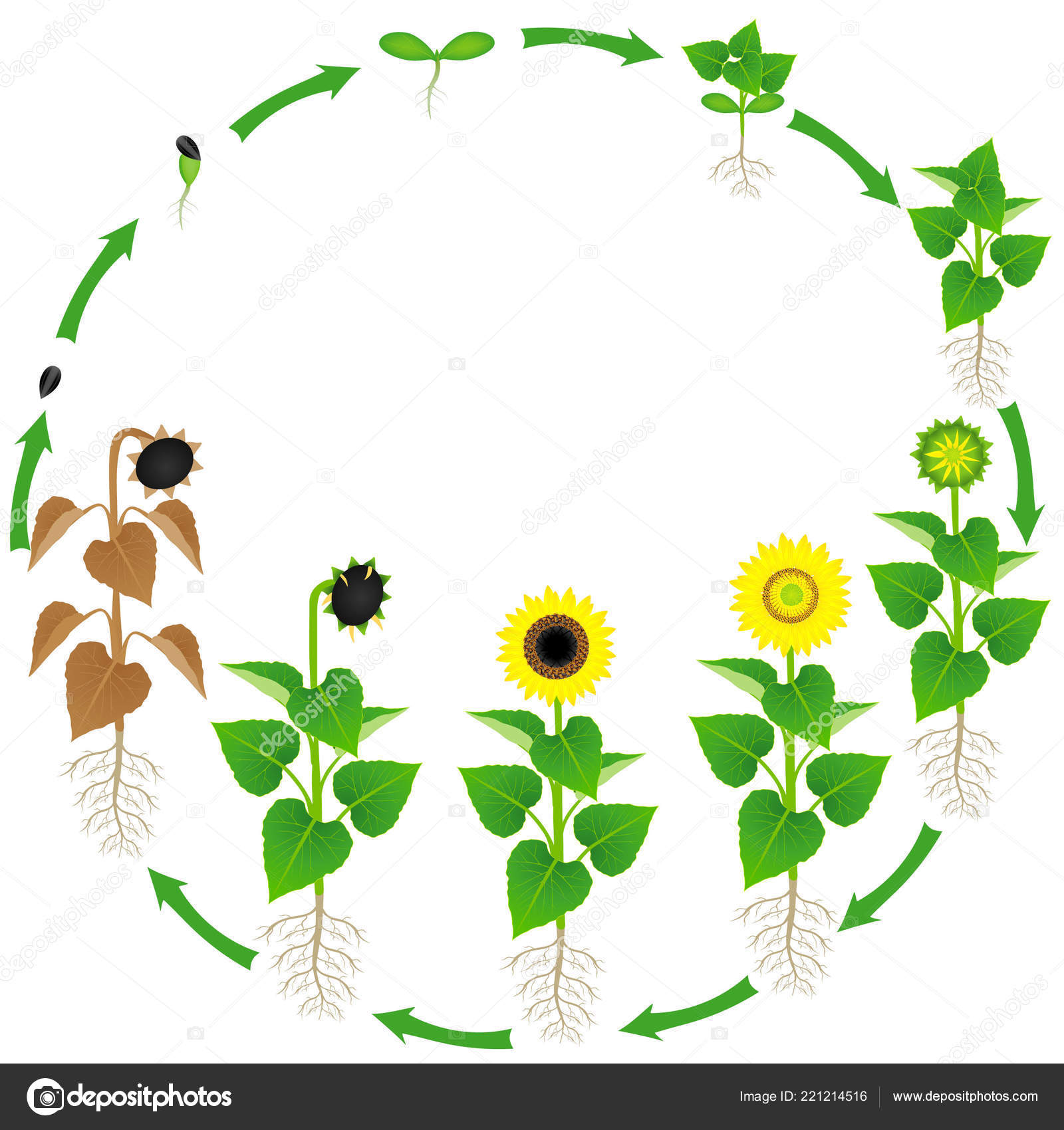 Life Cycle Sunflower Plant White Background