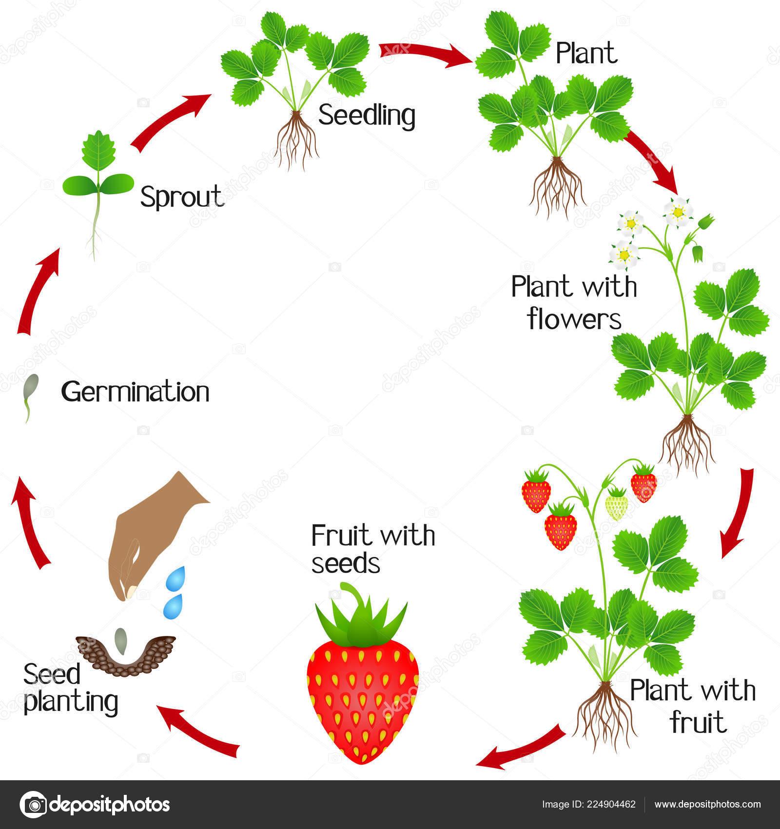 Ciclo Vida Una Planta Fresa Sobre Fondo Blanco