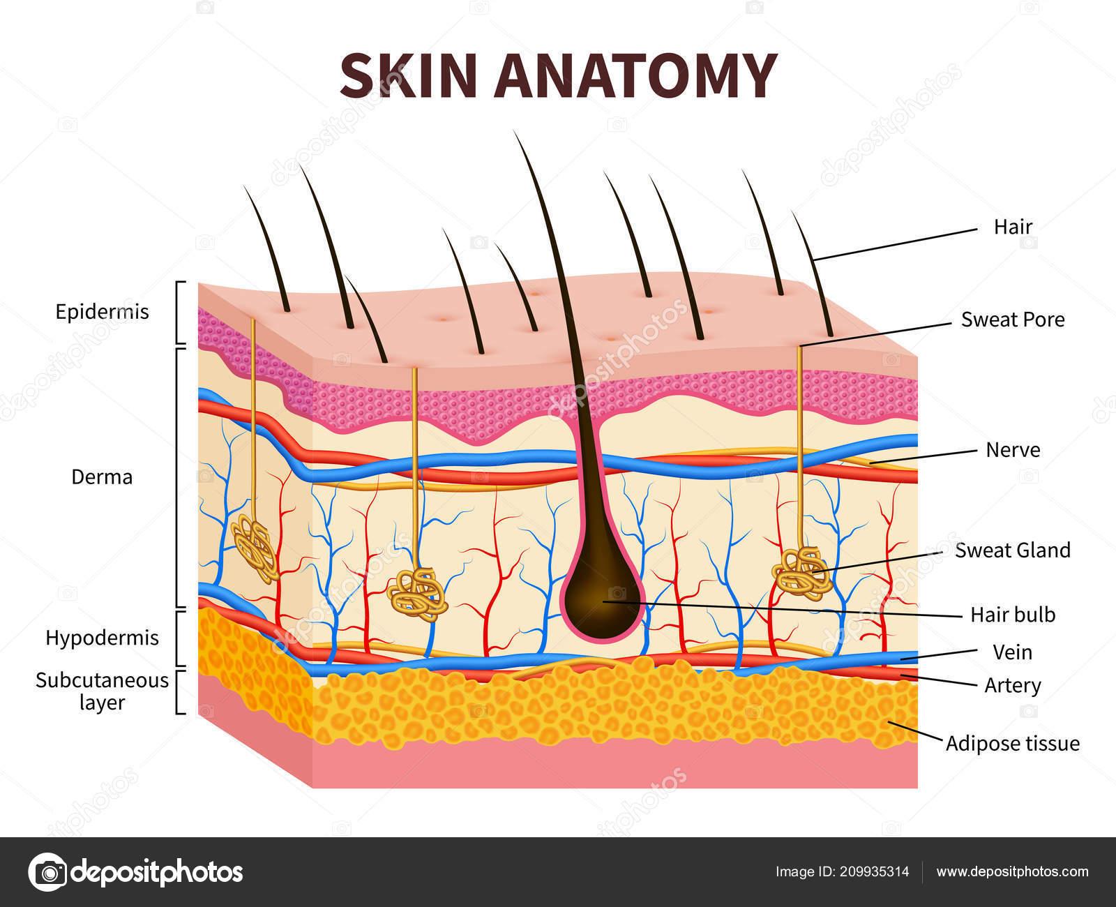 Illustrazione Di Epidermide Pelle Umana Strati Dell