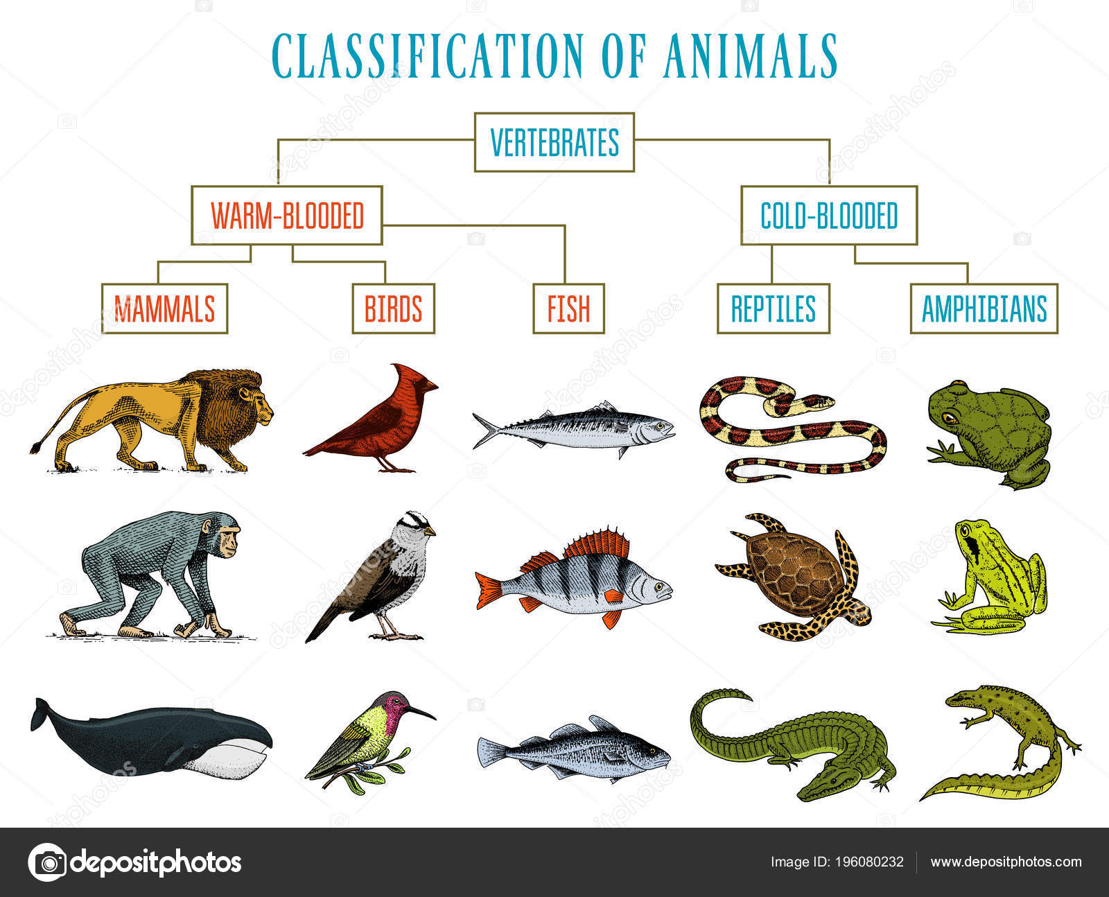 Whale Classification Chart