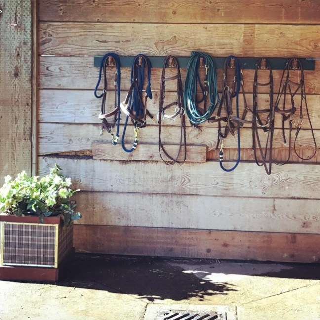 clean bridles hanging up in orderly fashion