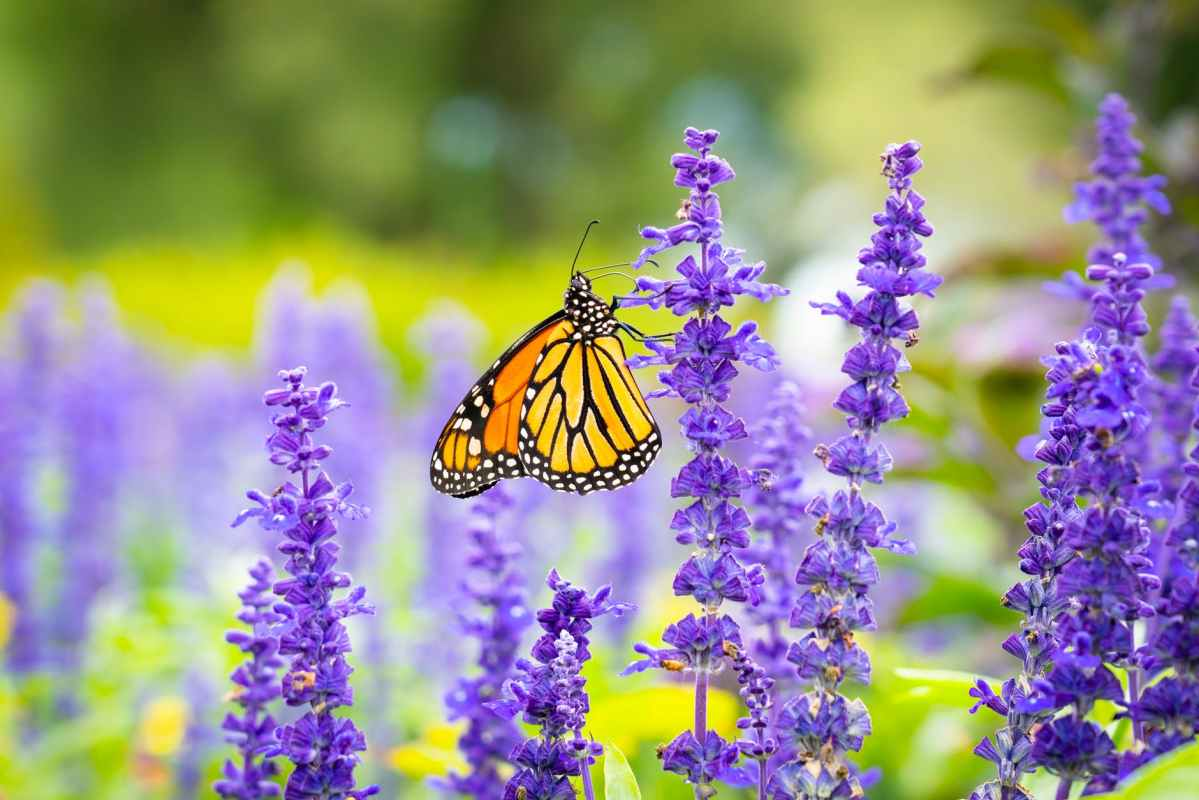 monarch butterfly perched on purple flower in close up photography