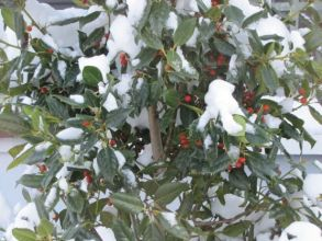 Stacey Loscalzo snowy berries