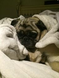 My pug love Rocky. He is my little man AKA Dr. Rocky.