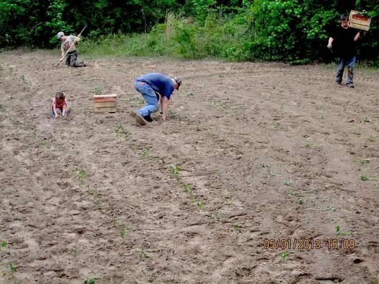 Planting Sweet Potatoes