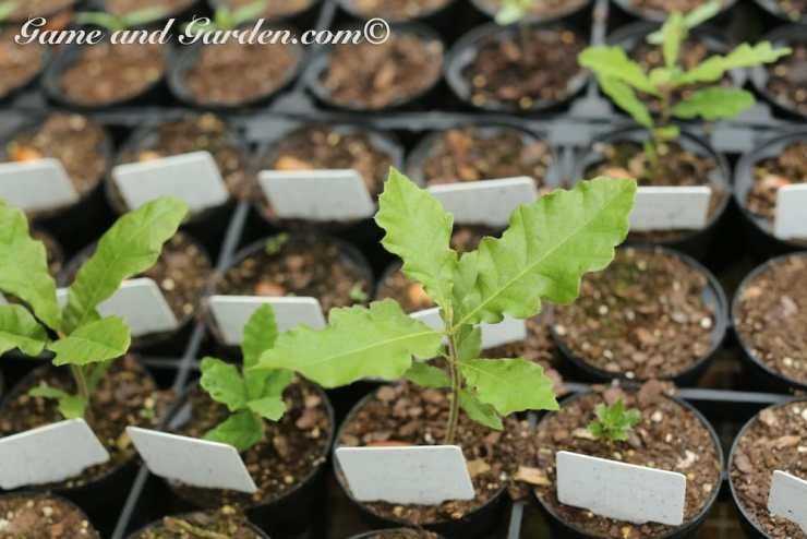 Oak Sapplings