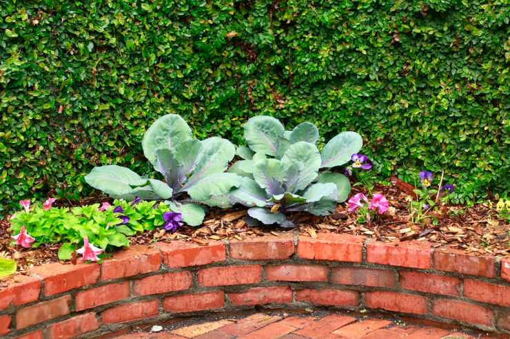 I love the light bluish leaves of the cabbage against the dark green leaves of the creeping fig.