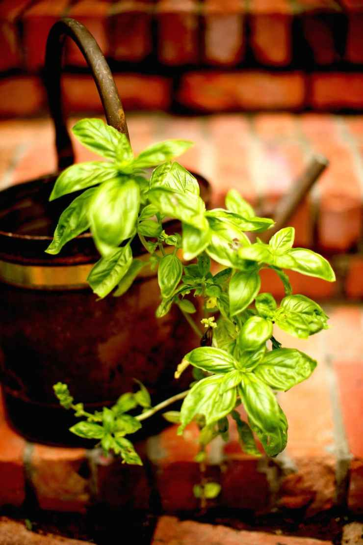 Basil herb plant. Basil can be grown indoors or outdoors