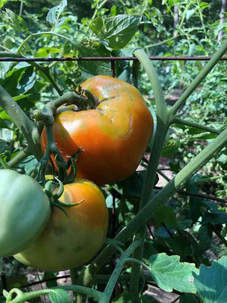 A picture of tomatoes from Stacy Lyn Harris's summer garden, ready for harvest