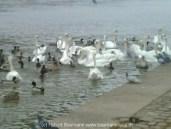 Schwäne und Enten