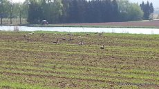 Graugänse auf dem Feld am Main