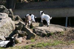 Ziegen im Haibacher Wildpark