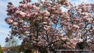 Magnolienblüte am Dreieck in Haibach / Aschaffenburg