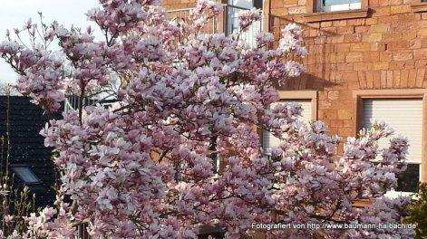 Magnolienblüte am Rathaus in Haibach