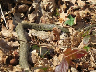 First grass snake we spotted very well camouflaged.