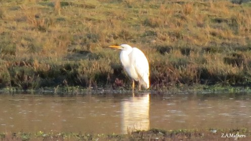 great-white-egret2