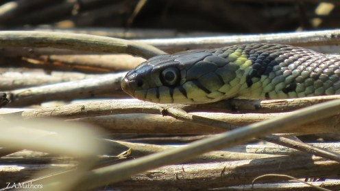 grass snake3