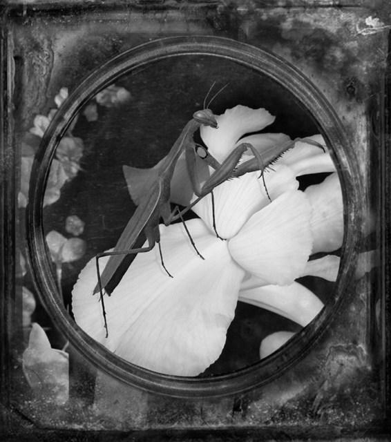 Praying Mantis © Dianne Yudelson