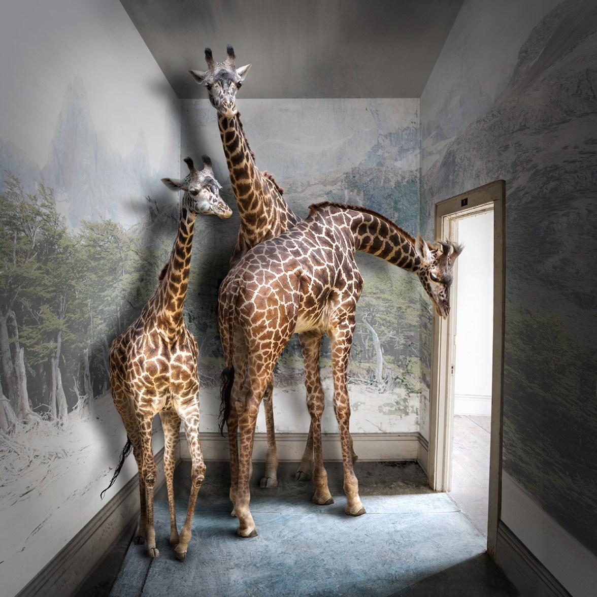 Giraffe © Carol Mollhagen Erb