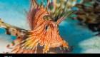 Rascasse volante (Pterois volitans)
