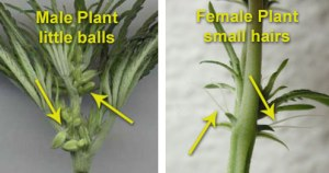 "A set of two annotated photographs showing the differences between the male and female cannabis plants. The male plant has little ""balls"" at the base of the leaves. The female plant has small ""hairs""."