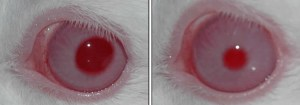 Two photographs showing the dramatic effect of Sarin on the pupil of a rabbit's eye.