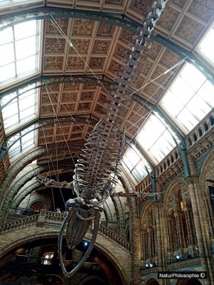 A photograph of Hope's skeleton above the Hintze Hall, at the Natural History Museum in London,  Image: NaturPhilosophie