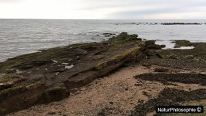 A photograph of the rocky shore between Seamill and Portencross in Scotland, showing an outcrop of mudstone. Photograph: NaturPhilosophie