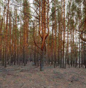 A photograph showing an area of the Red Forest, near Chernobyl.