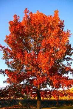 oak tree 5