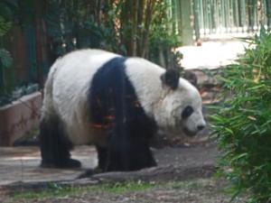Panda at Chapultepec Zoo