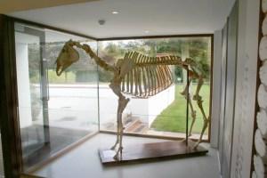 Skeleton_of_Arkle_the_horse_at_the_Irish_National_Stud