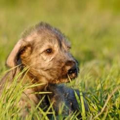 IrishWolfhoundPuppy
