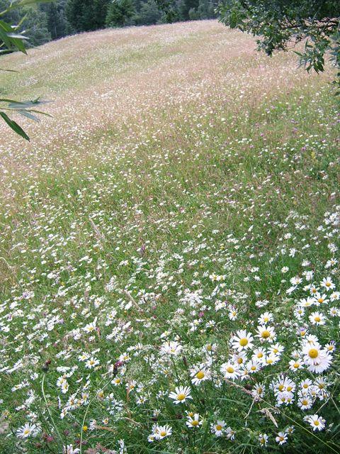 Daisies in Transylvania wildflower meadow
